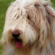 A shaggy dog tail?